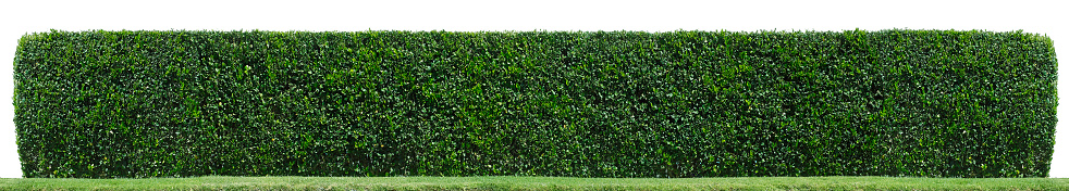 A hedge isolated on white. hedge,border,plant,