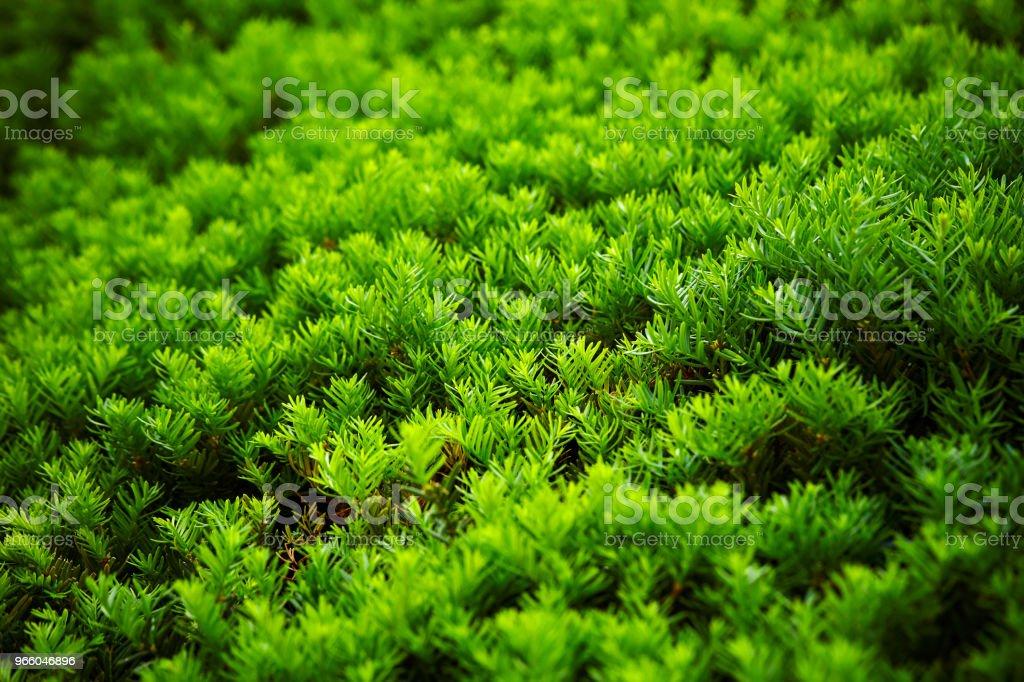 Hedge planten - Royalty-free Blad Stockfoto