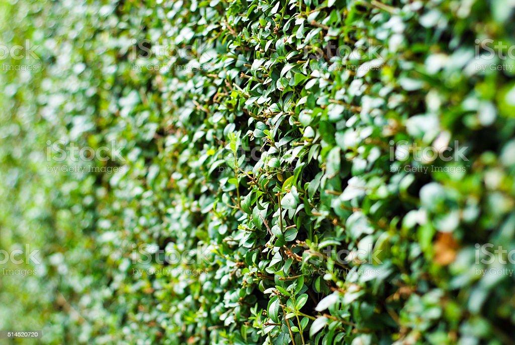 Hedge slective focus stock photo