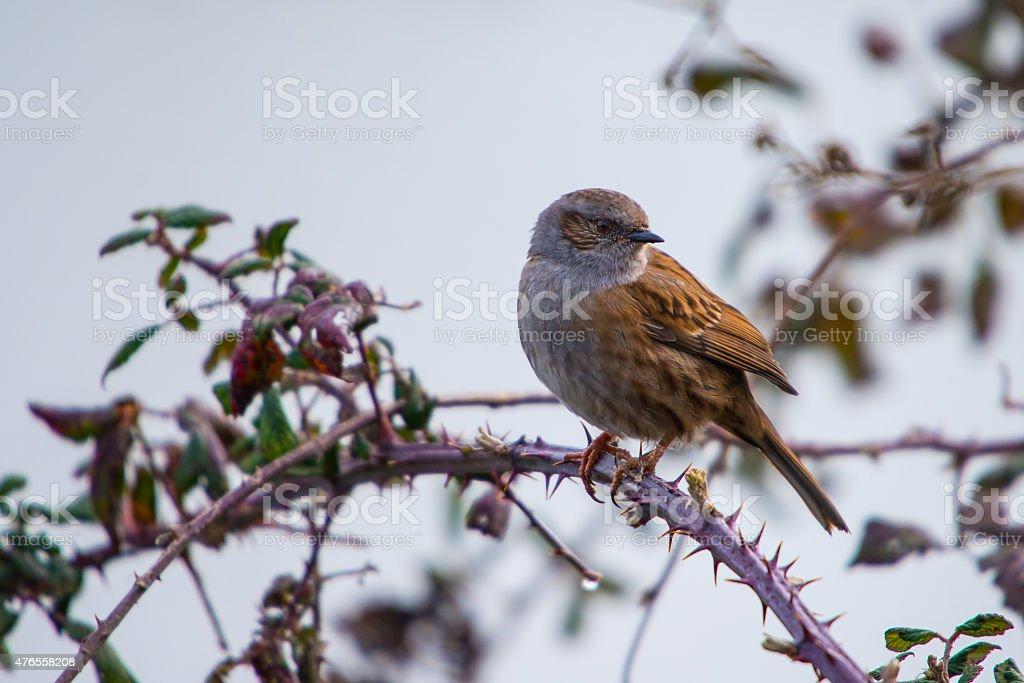Hedge sparrow stock photo