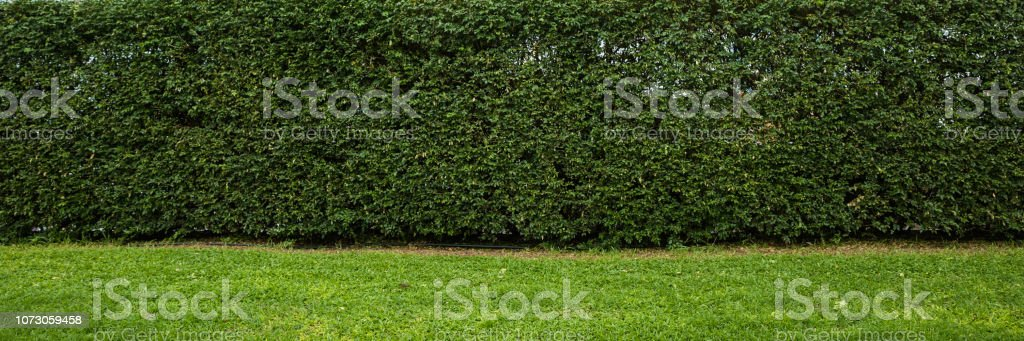 Hedge wall backdrop panorama