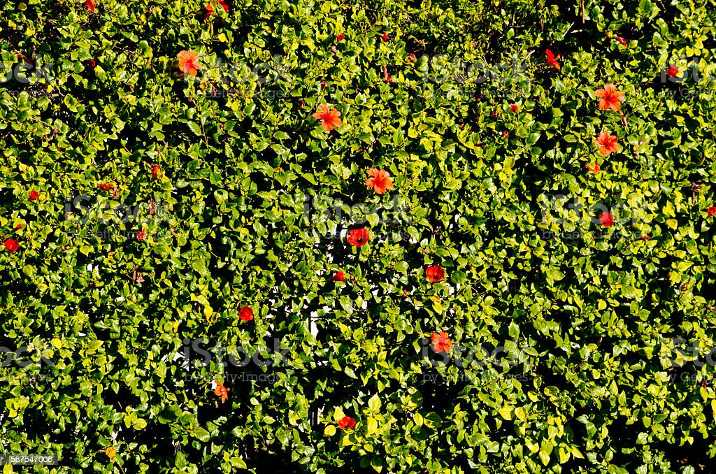 Hedge with red hibiscus flowers