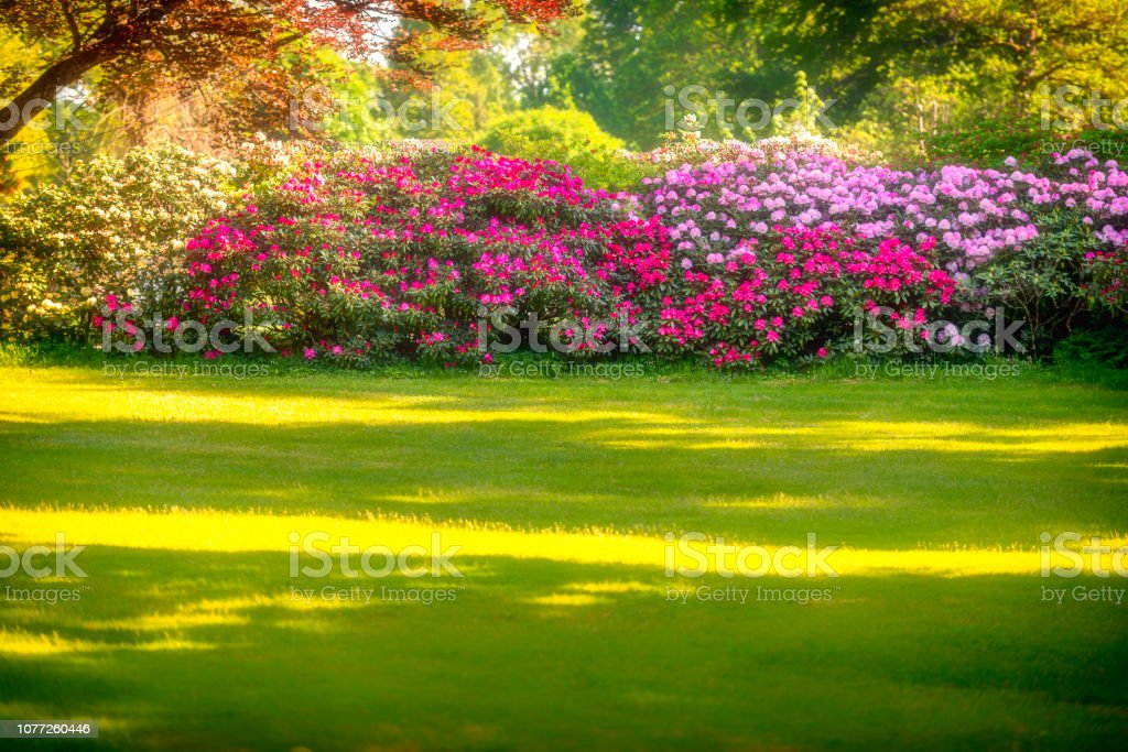 Hedge with Rhododendron in full bloom - Royalty-free Ao Ar Livre Foto de stock
