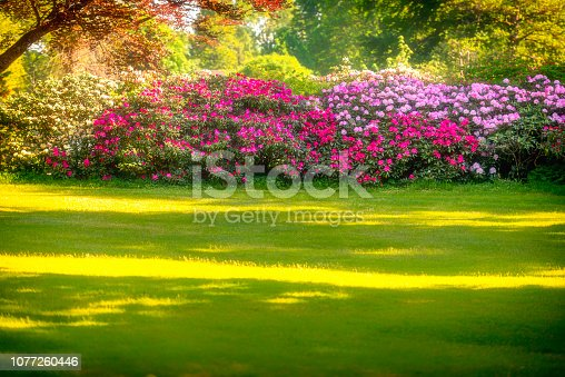 Hedge with Rhododendron in full bloom. Soft focus.