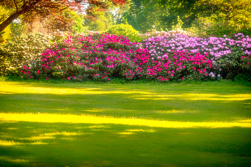 Hedge with Rhododendron in full bloom