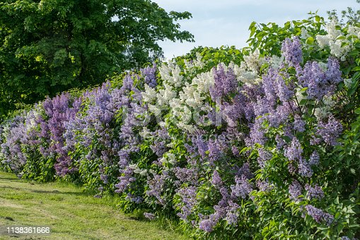 Beautiful summer view of a hedge in Sweden, filled with white and purple lilac flowers in full bloom