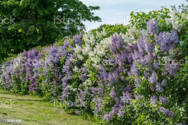 Photo of Hedge with white and purple lilac in summer sunlight
