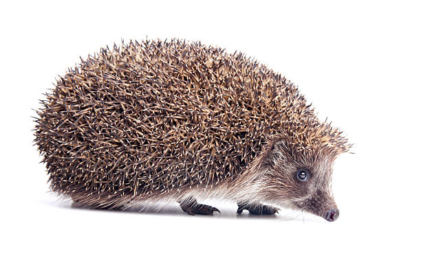 Hedgehod - Photo