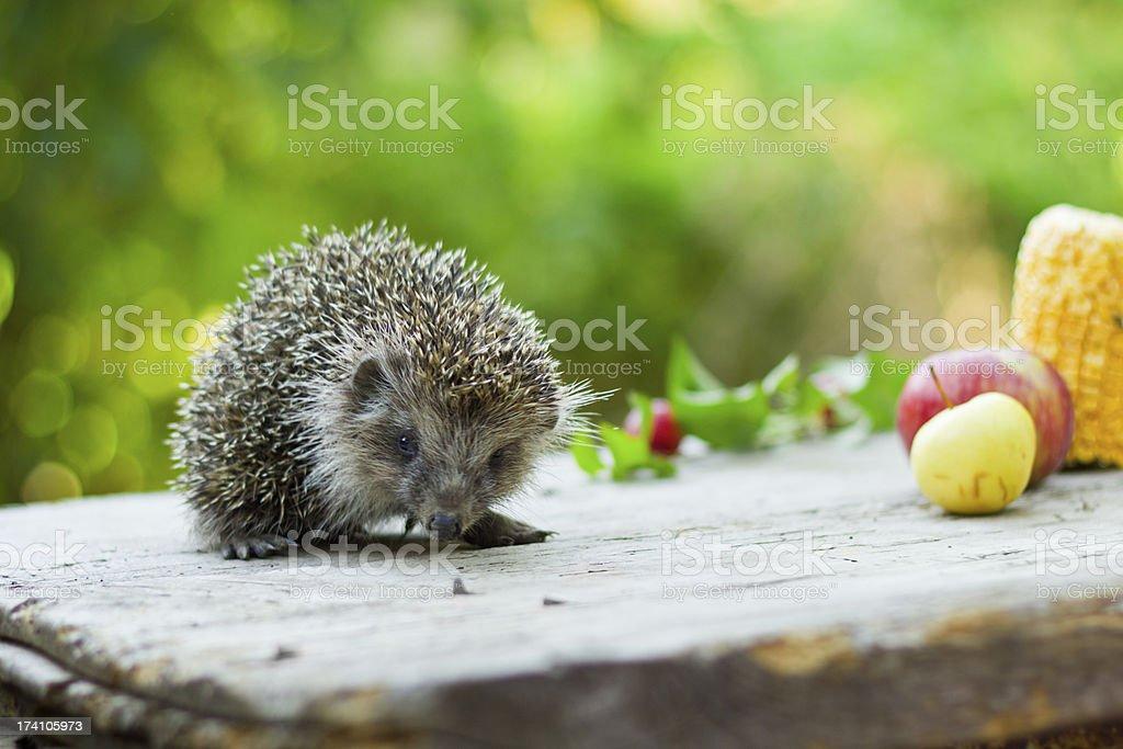 Hedgehog among fruits royalty-free stock photo