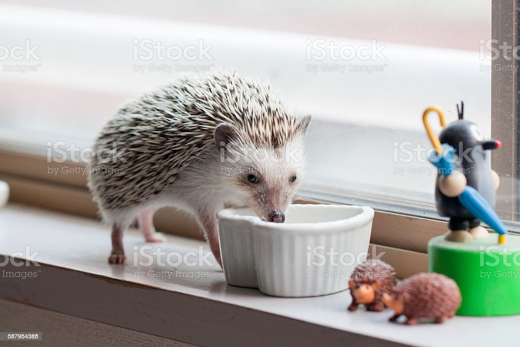 Hedgehog and eat like crazy at the window stock photo