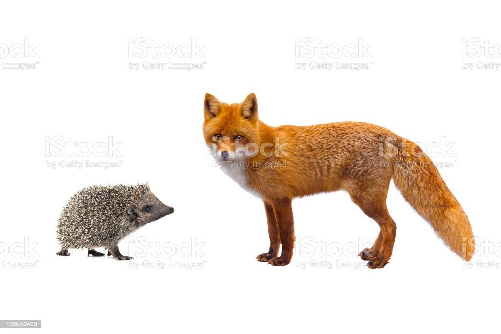 hedgehog and fox stock photo