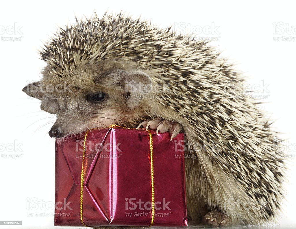 hedgehog and gift royalty-free stock photo