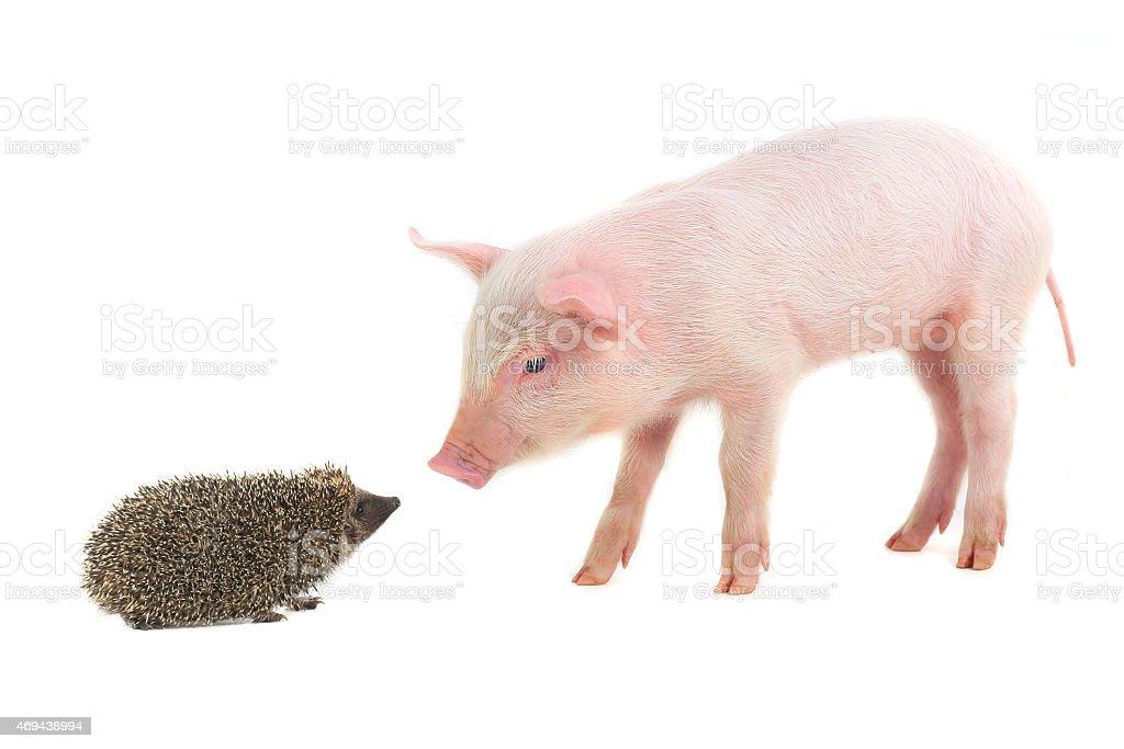 Igel und Schwein – Foto