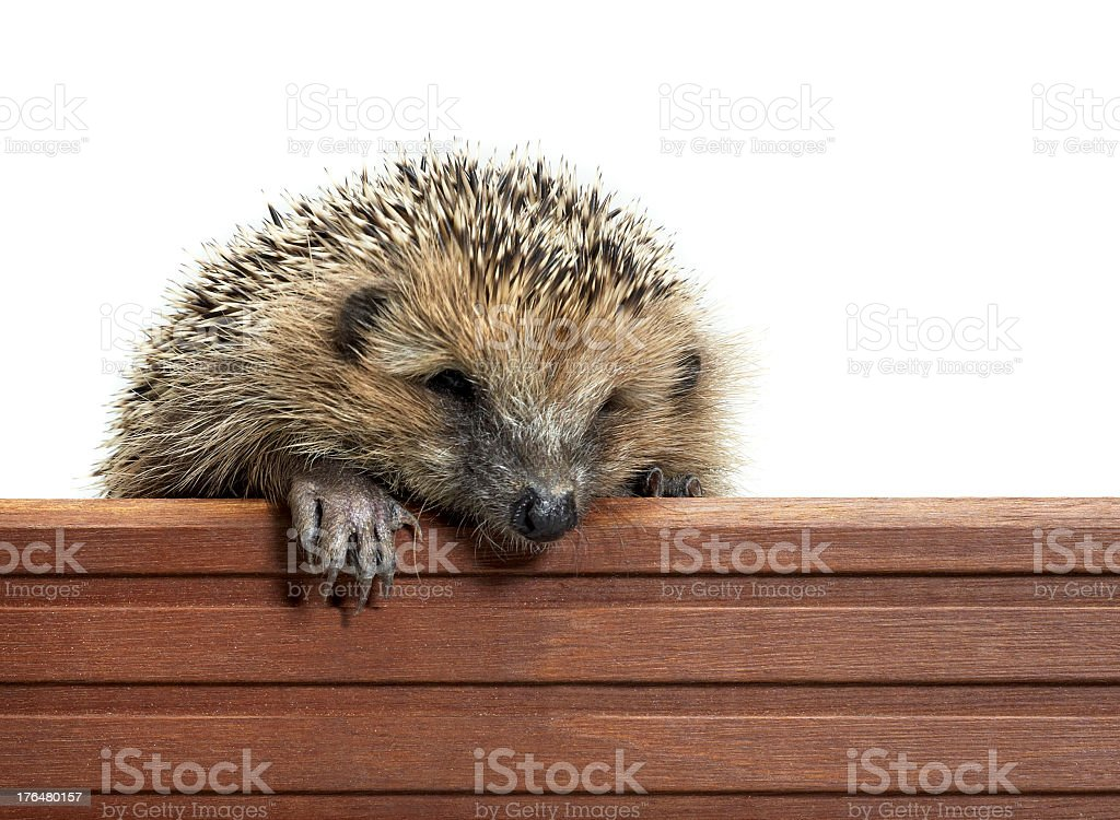 hedgehog and wooden panel royalty-free stock photo