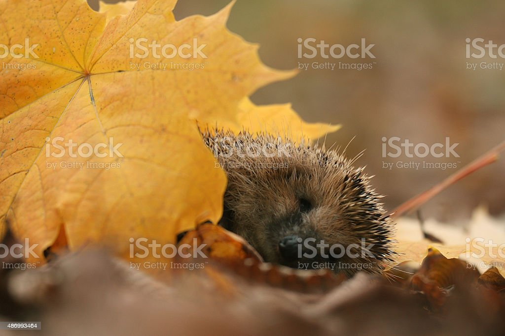 hedgehog autumn leaves forest stock photo