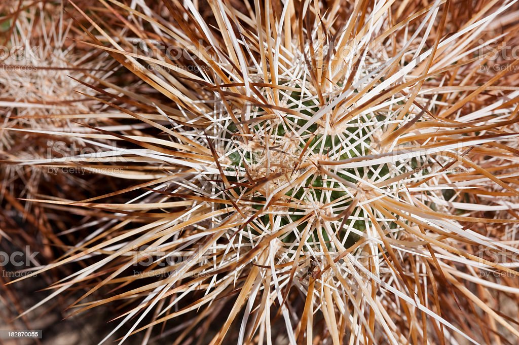 hedgehog cactus  Echinocereus engelmanii royalty-free stock photo