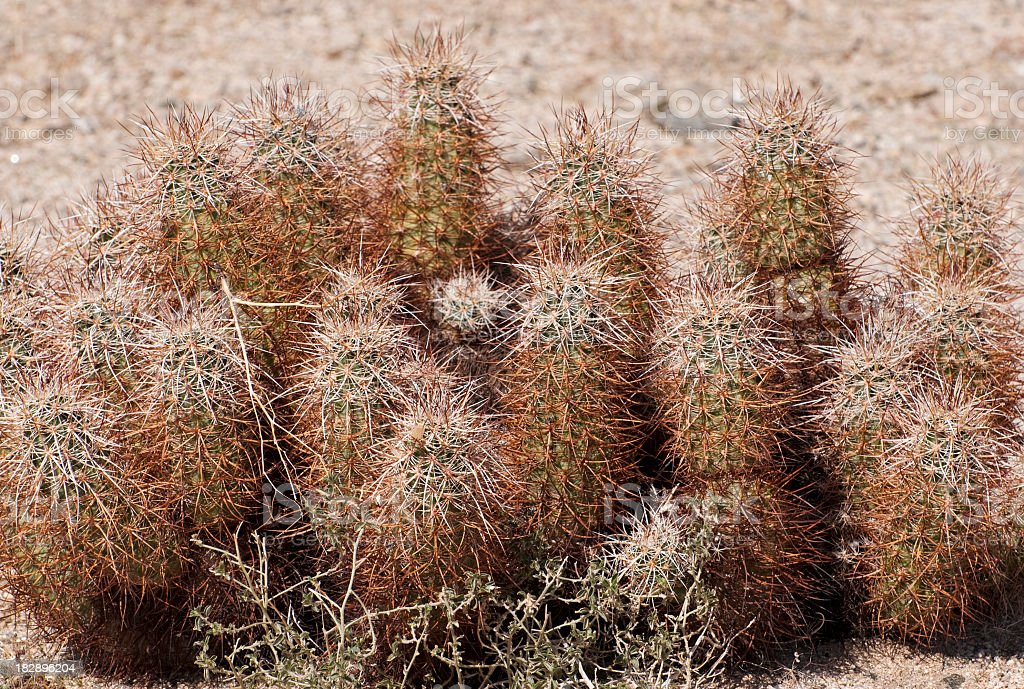 hedgehog cactus  Echinocereus engelmanii royalty-free stock photo