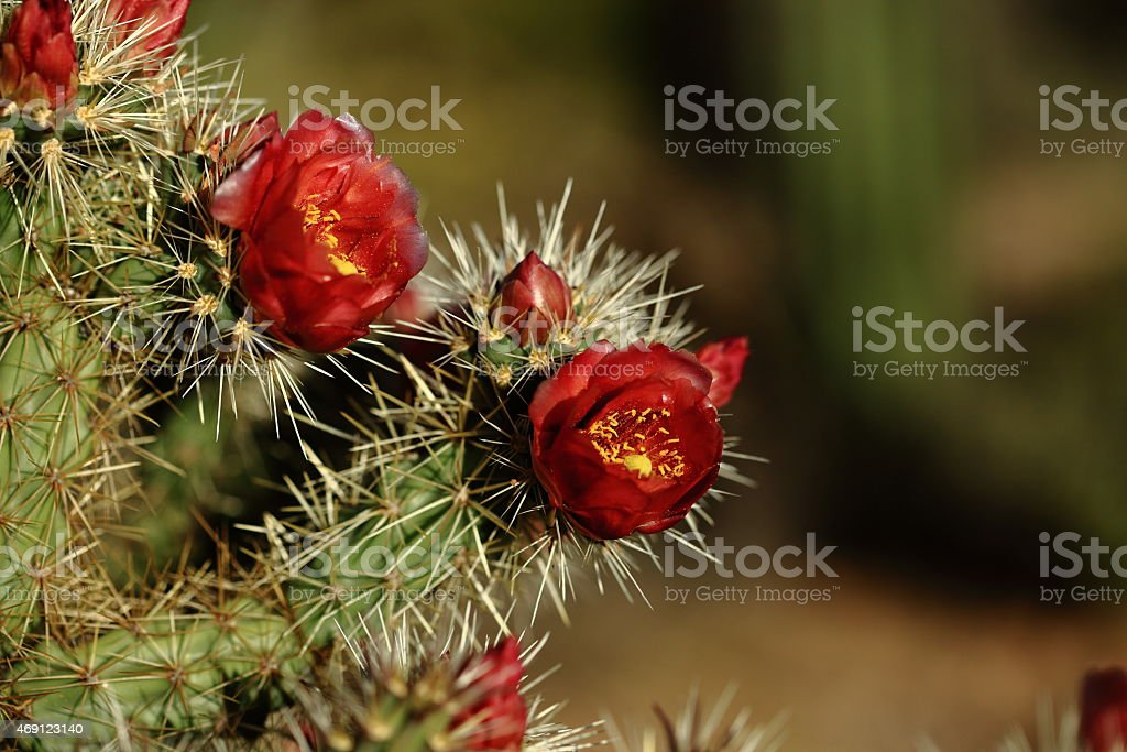 Hedgehog cactus flowers stock photo