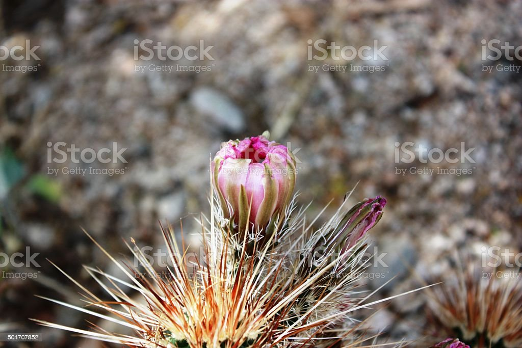 Hedgehog Cactus in the Joshua Tree National Park, California USA stock photo