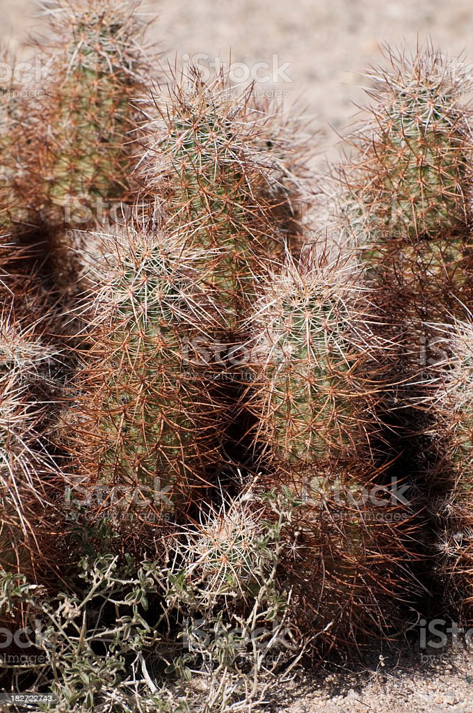 hedgehog cactus royalty-free stock photo