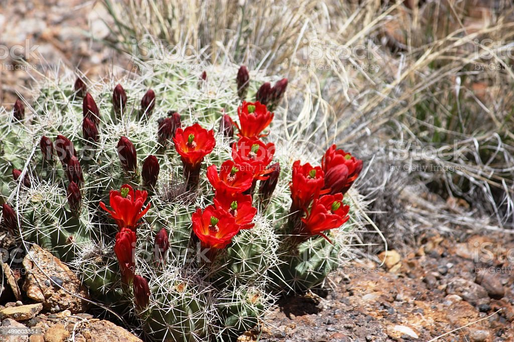Hedgehog calico Cactus with orangish red flowers stock photo