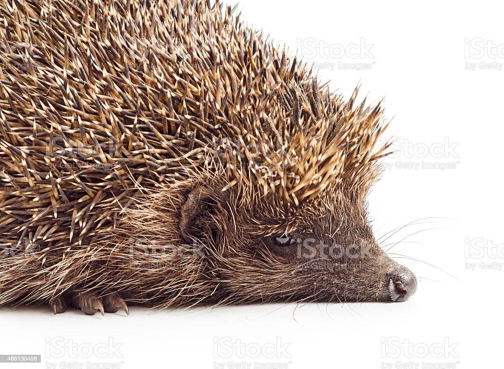 Hedgehog close-up stock photo