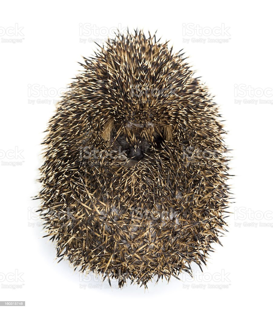 Hedgehog curled up against white background royalty-free stock photo