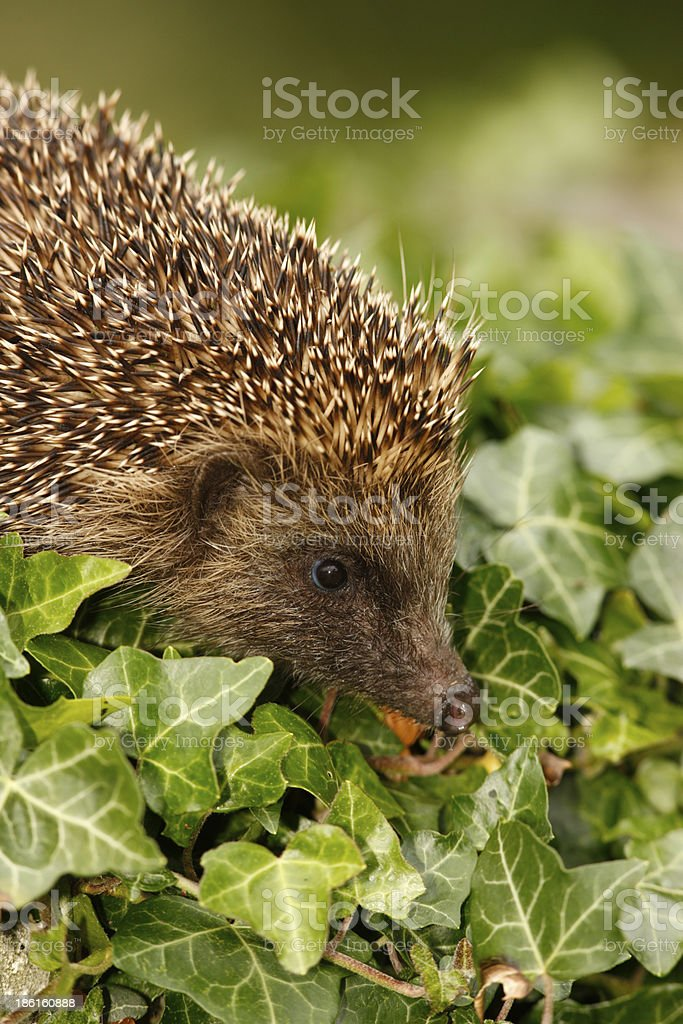 Hedgehog, Erinaceus europaeus royalty-free stock photo