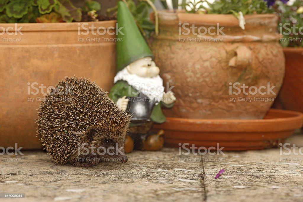 Hedgehog, Erinaceus europaeus stock photo