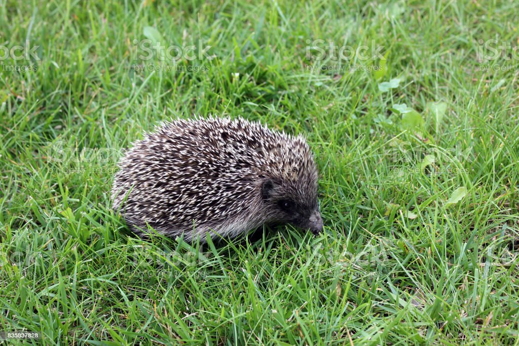Hedgehog in a meadow stock photo