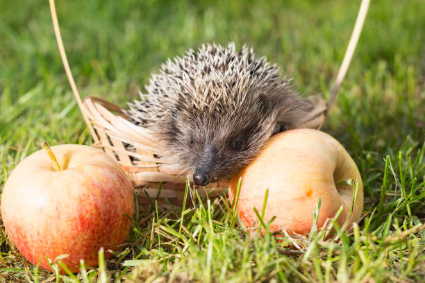 Hedgehog in a small basket with apples on the grass picture id657449804?b=1&k=6&m=657449804&s=612x612&w=0&h=ydhcknxbvqws07qqvbi7upv1jyfxqbhhaoew jlffkm=