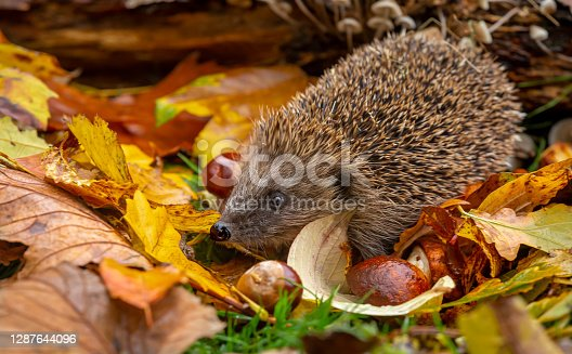 Hedgehog, (Scientific name: Erinaceus europaeus) Native, wild hedgehog in Autumn with chestnuts and colourful Autumn leaves. Facing left. Horizontal, landscape.  Space for copy.
