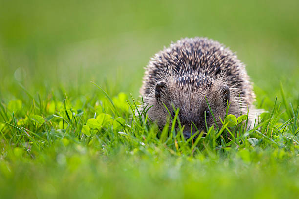 hedgehog in green meadow stock photo