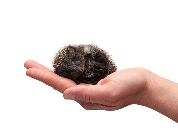 Hedgehog in hand on white background Hedgehog in hand on white background bristle animal part stock pictures, royalty-free photos & images