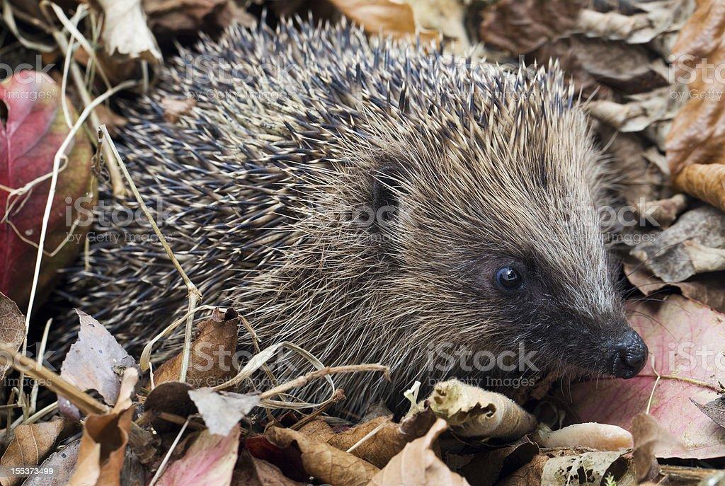 Hedgehog in leaf debris royalty-free stock photo