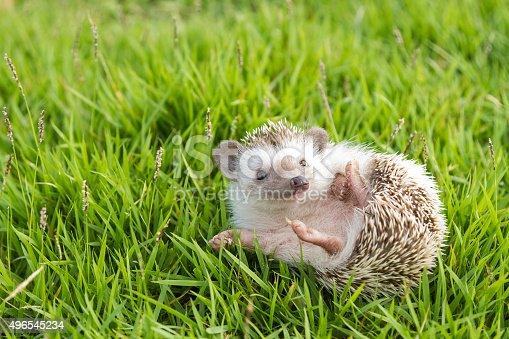 istock Hedgehog in the garden , African pygmy hedgehog 496545234
