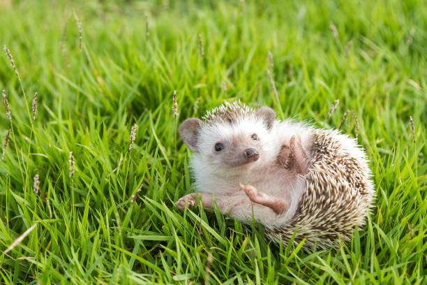 hedgehog in the garden , african pygmy hedgehog - jong dier stockfoto's en -beelden