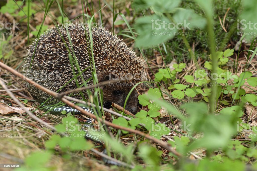 Hedgehog in the grass with little snake stock photo