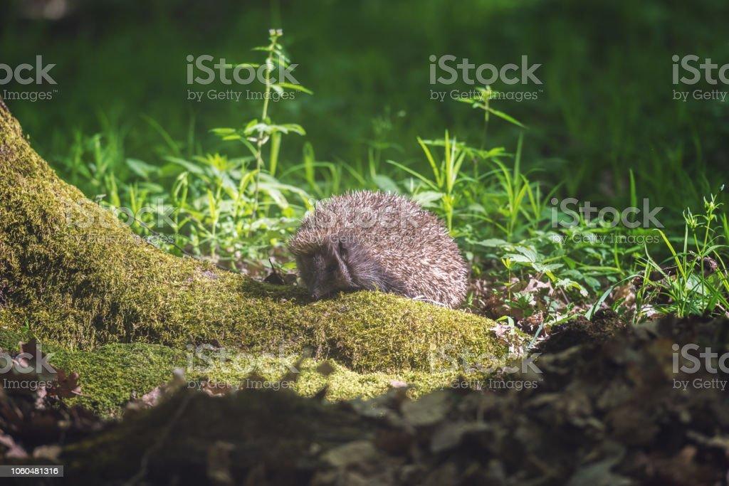 Igel im sonnigen Frühlingstagen Wald, Tierwelt natürlichen Hintergrund. Tiere in freier Wildbahn – Foto