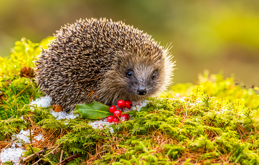 Hedgehog, (Scientific name: Erinaceus europaeus) Native, wild hedgehog in Winter with green moss, red berries and ice.  Facing forward.  Horizontal, landscape.  Space for copy. Postcard, calendar