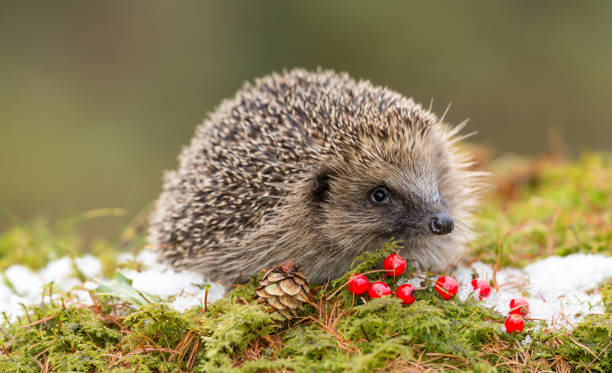 Hedgehog in Winter with Snow, Red Berries and Green Moss stock photo