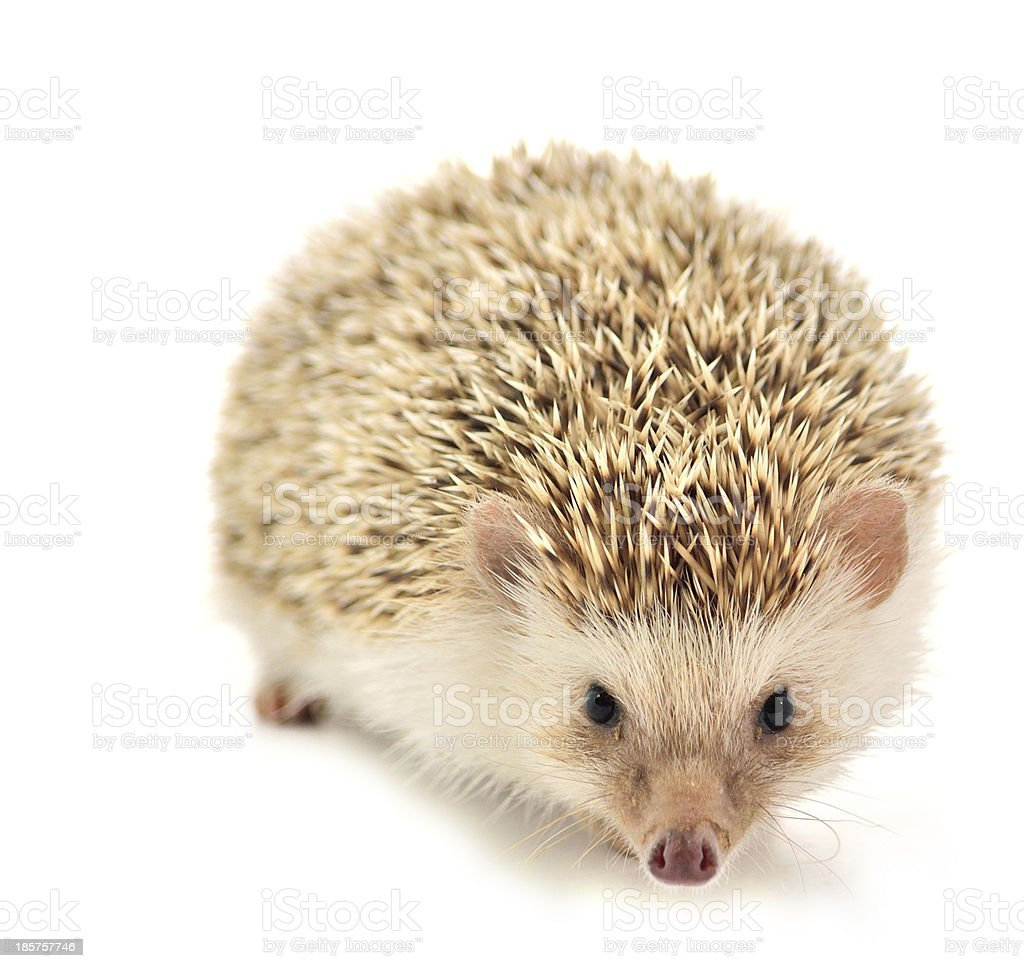 Hedgehog isolate on white background royalty-free stock photo