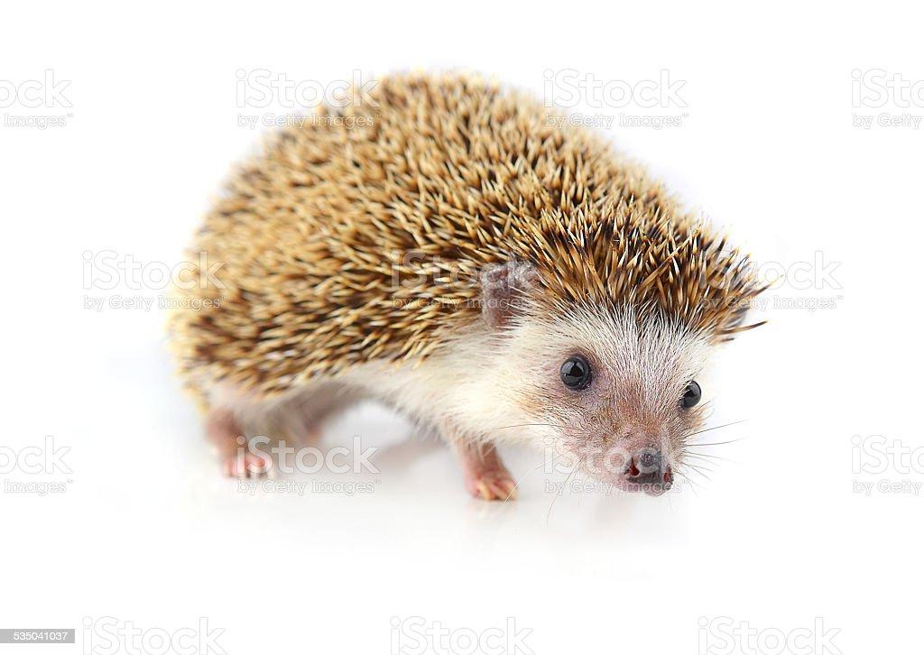 Hedgehog isolate on white background stock photo