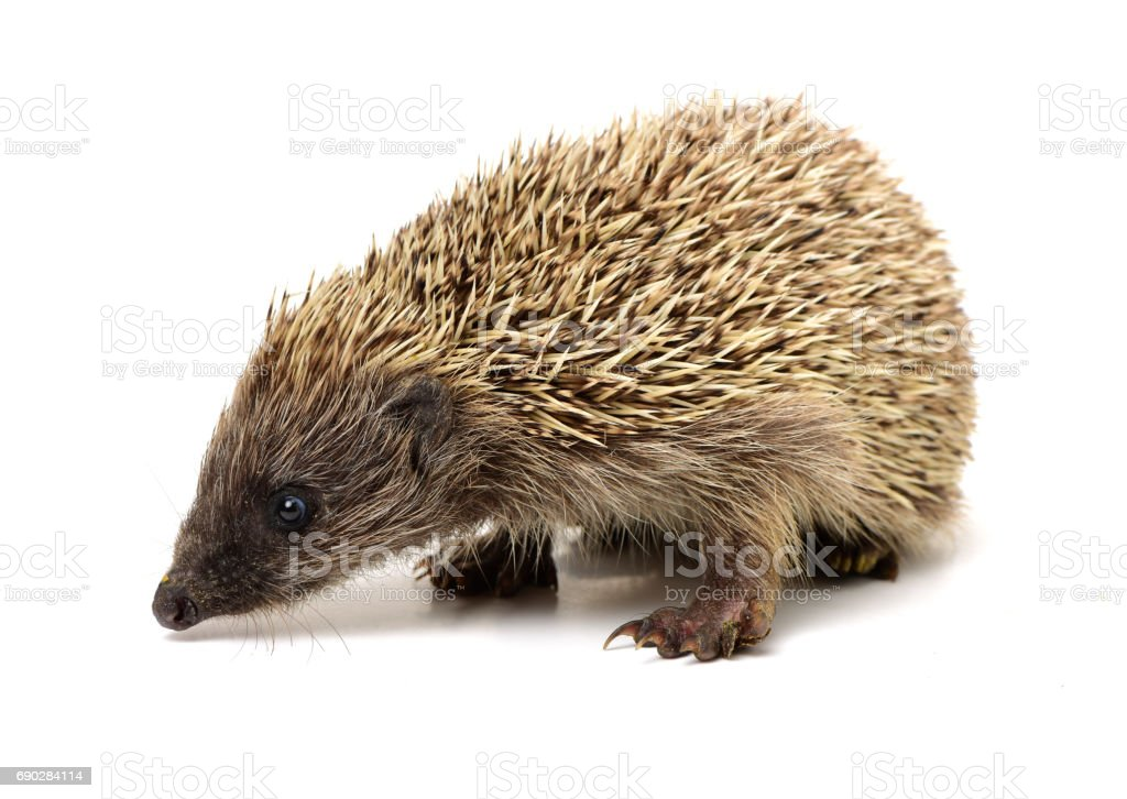 Hedgehog isolated on the white background stock photo