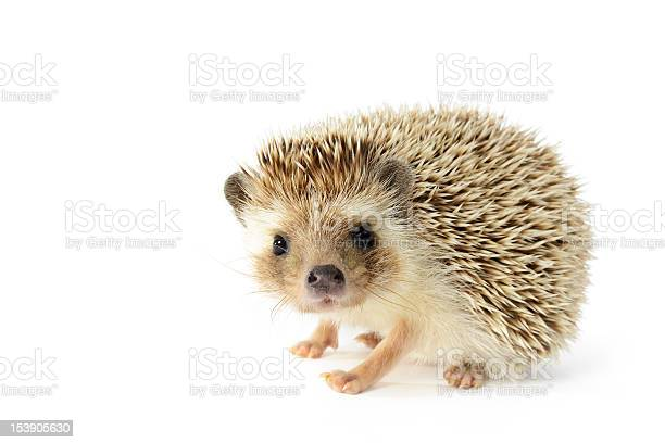 Hedgehog isolated on white background picture id153905630?b=1&k=6&m=153905630&s=612x612&h=oshl1k78dgji2aukeehymnf4hlhdy4qlekosi2sogwe=