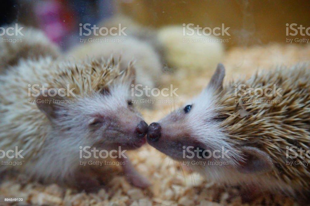 Hedgehog kiss stock photo