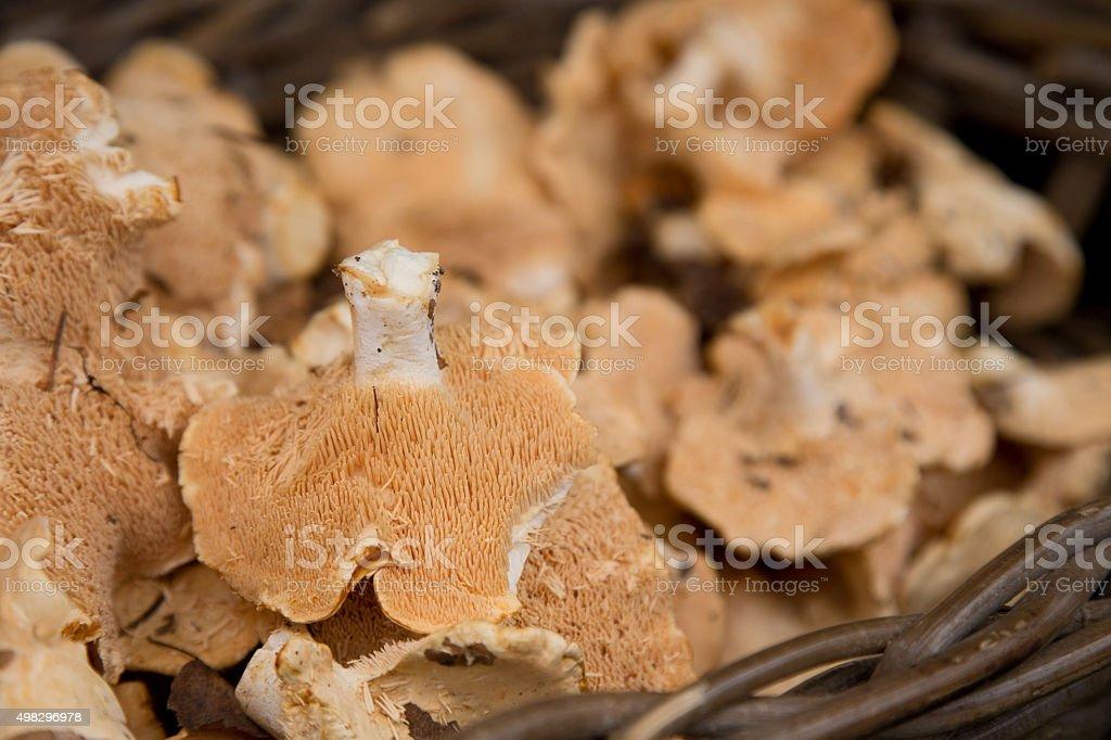 hedgehog mushroom stock photo
