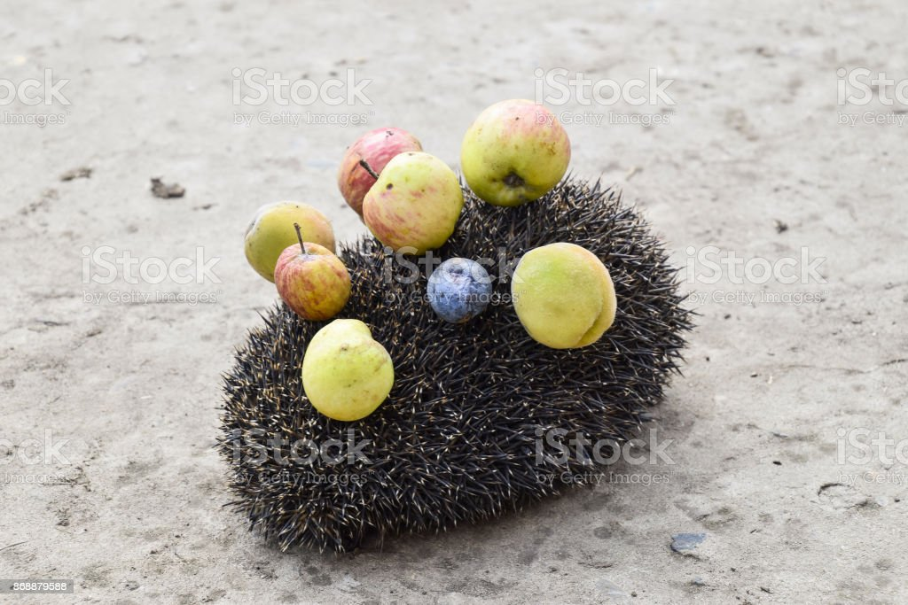 Hedgehog on a concrete surface. Hedgehog needles pinned on apples, peaches and plums. Hedgehog curled up into a ball stock photo