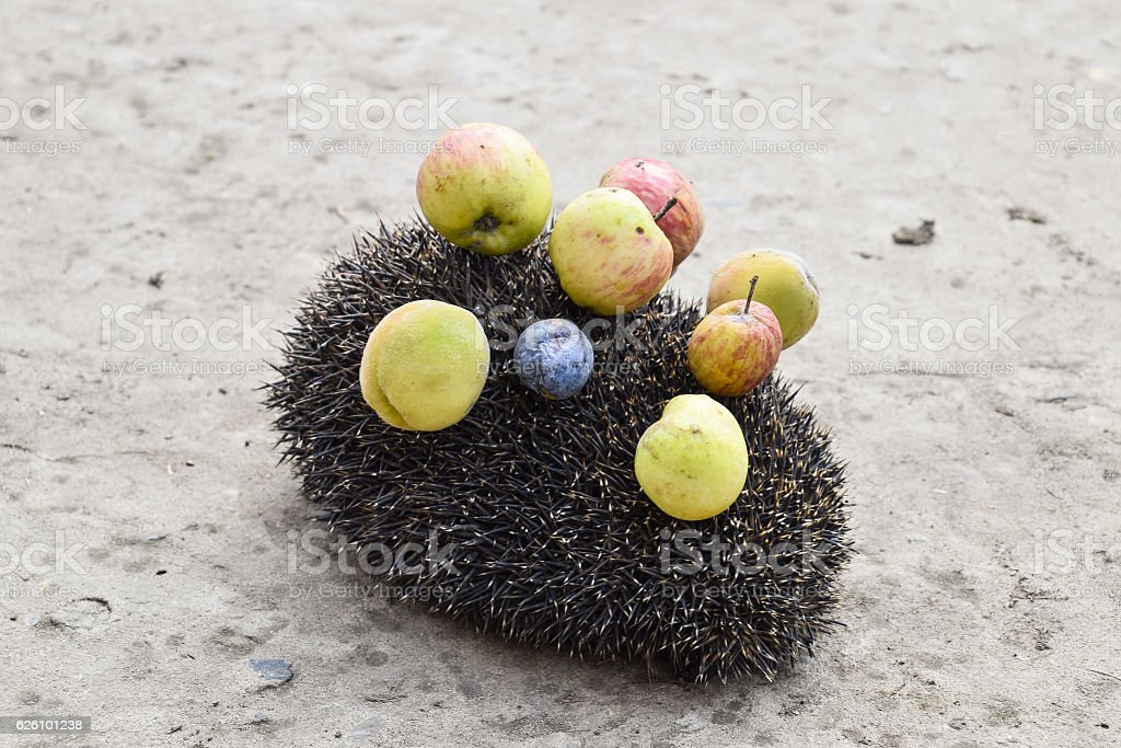 Hedgehog on a concrete surface stock photo