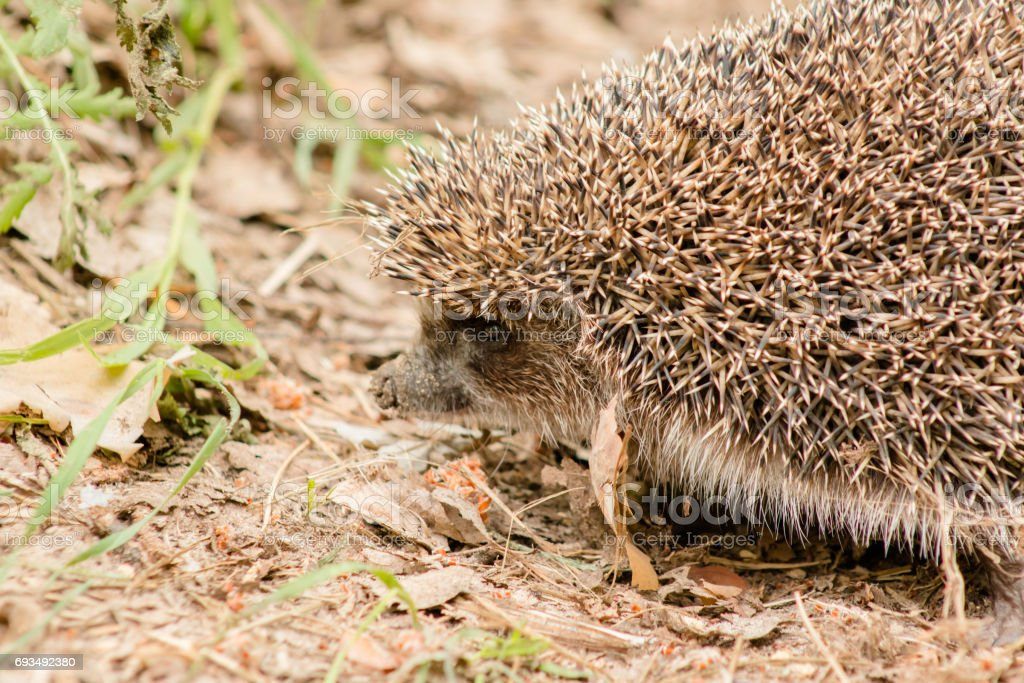 Hedgehog on a forest road macro close. stock photo